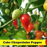 Benih Cabe Chupetinho Pepper (Maica Leaf)