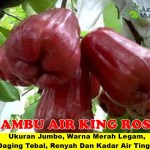 Bibit Jambu Air King Rose 70 cm