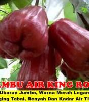 Buah Jambu King Rose