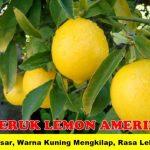 Bibit Jeruk Lemon Amerika 70 cm