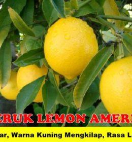 Tanaman Buah Lemon Amerika