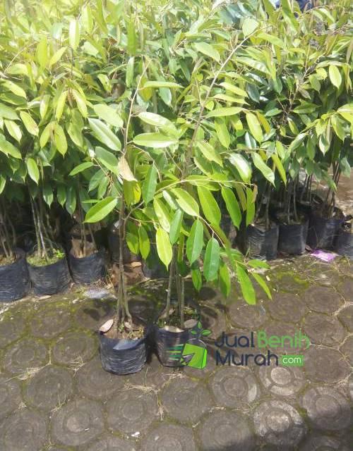 Bibit Durian Merah 3 kaki Unggul -70cm