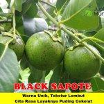 Bibit Black Sapote 150cm