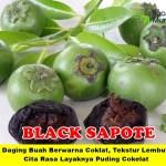 Bibit Black Sapote 70cm