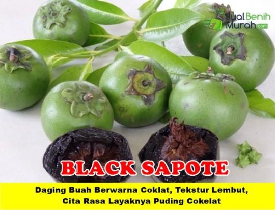 Black Sapote Unggul