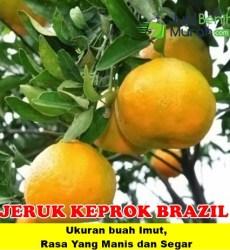 Jeruk Keprok Brazil Unggul