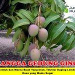 Bibit Mangga Gedong Gincu 70cm
