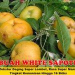 Bibit White Sapote 150cm