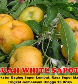 White Sapote Jumbo