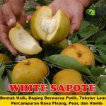 Bibit White Sapote 70cm