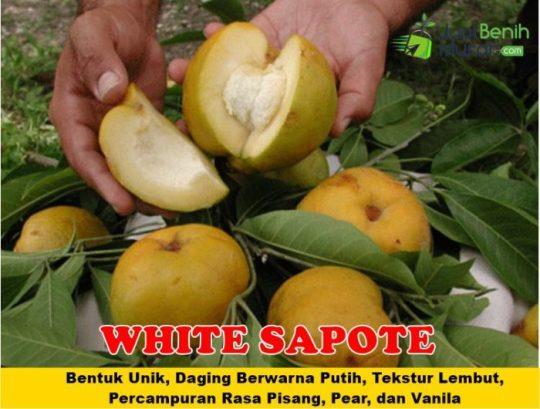 White Sapote Unggul