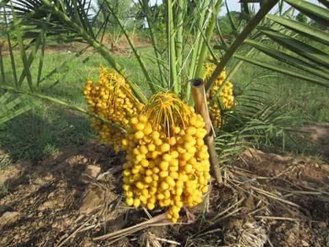 Tips Budidaya kurma Tropis