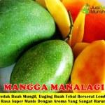 Bibit Mangga Manalagi 70cm