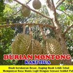 Bibit Durian Montong 3 Kaki 150cm