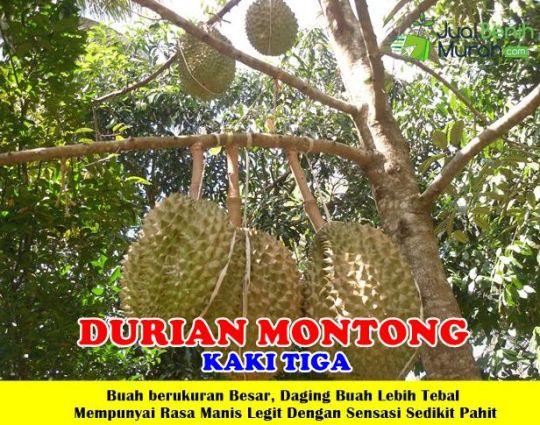 Durian Montong kaki 3 Unggul