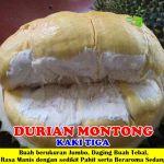 Bibit Durian Montong 3 Kaki 70cm
