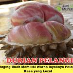 Bibit Durian Pelangi 3 Kaki 70cm