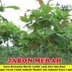 Bibit Kayu Jabon Merah 70cm