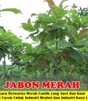 Pohon Jabon Merah