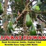 Bibit Alpukat Pluwang / Hawai Jumbo 70cm