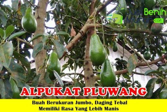 Alpukat Pluwang