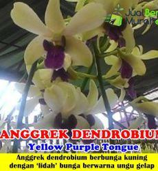 Anggrek Dendrobium Yellow Purple Tongue