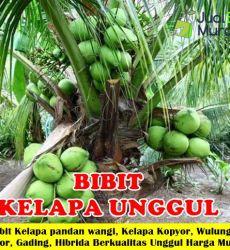 Jual Bibit kelapa Unggul