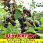 Bibit BlackBerry 50cm