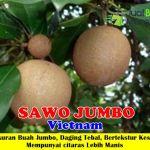 Bibit Sawo Jumbo 70cm