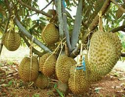 pohon durian montong