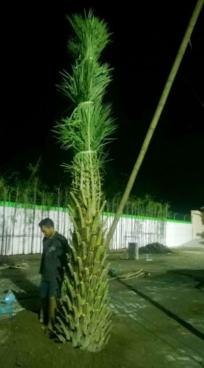 jual pohon kurma