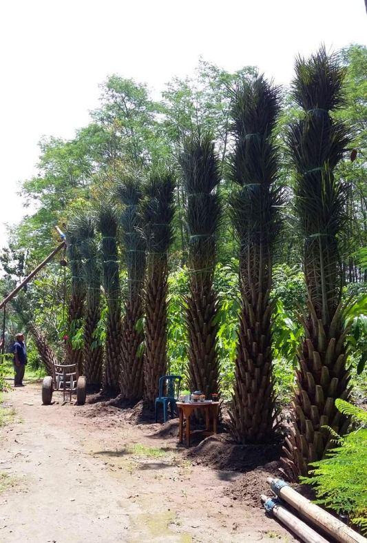 jual pohon kurma Pekanbaru
