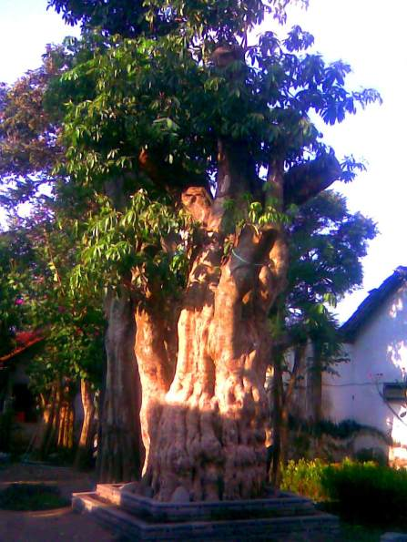 jual pohon pule di Lumajang