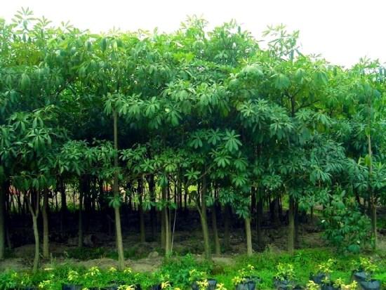 jual pohon pule di Tanjungpinang