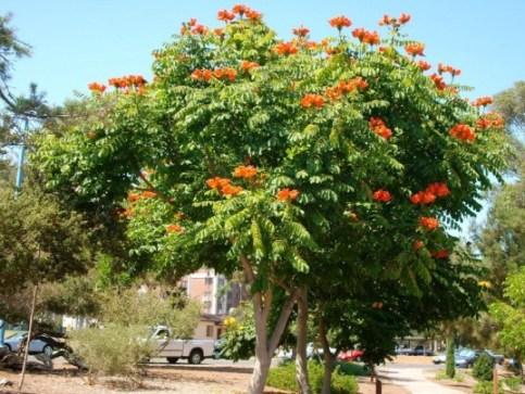 jual pohon spathodea