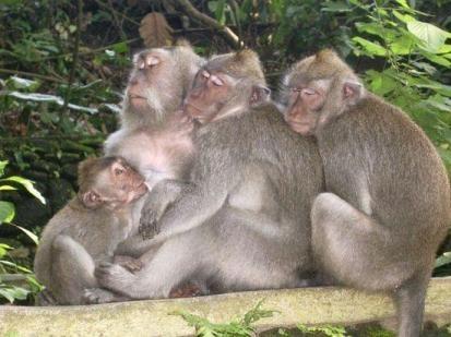 alas kedaton monkey sleepy
