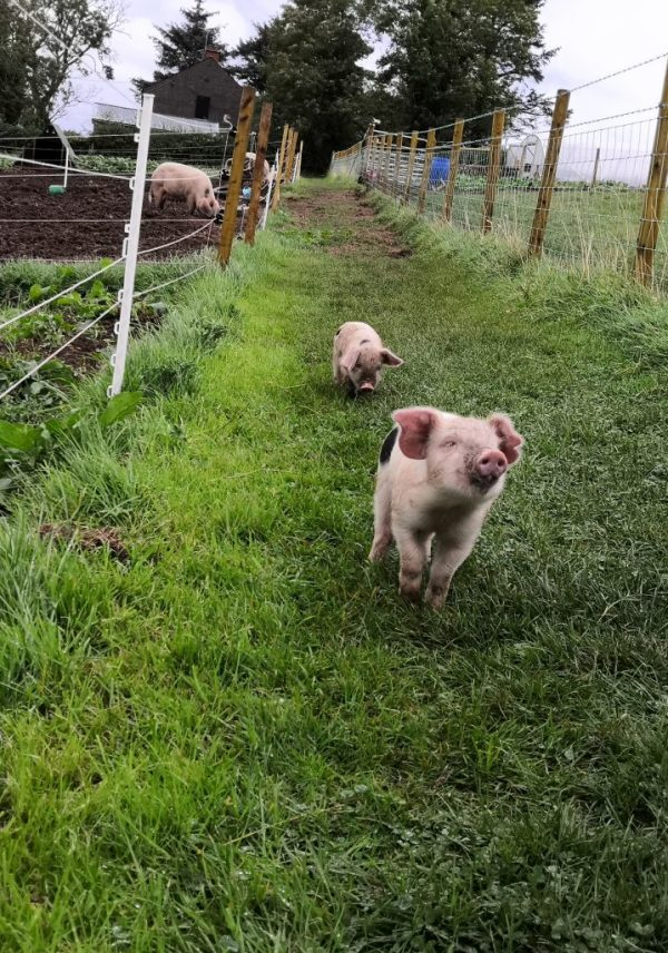 Jubilee's Pig Club pigs are free range.