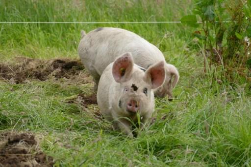 Two of Jubilee Farm's free ranged Pig Club pigs.
