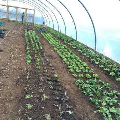 Salad-planting