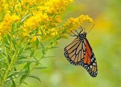 Monarch butterfly, danaus plexippus, clinging to yellow goldenrod wild flower