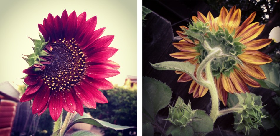 sunflowers instagram