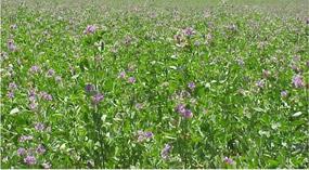 té de alfalfa