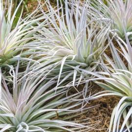 Tillandsia plants for sale at the nursery
