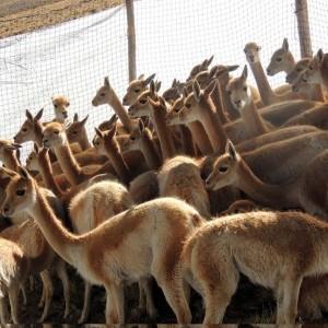 vicuñas 1