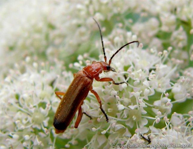 Julianadorp Insecten