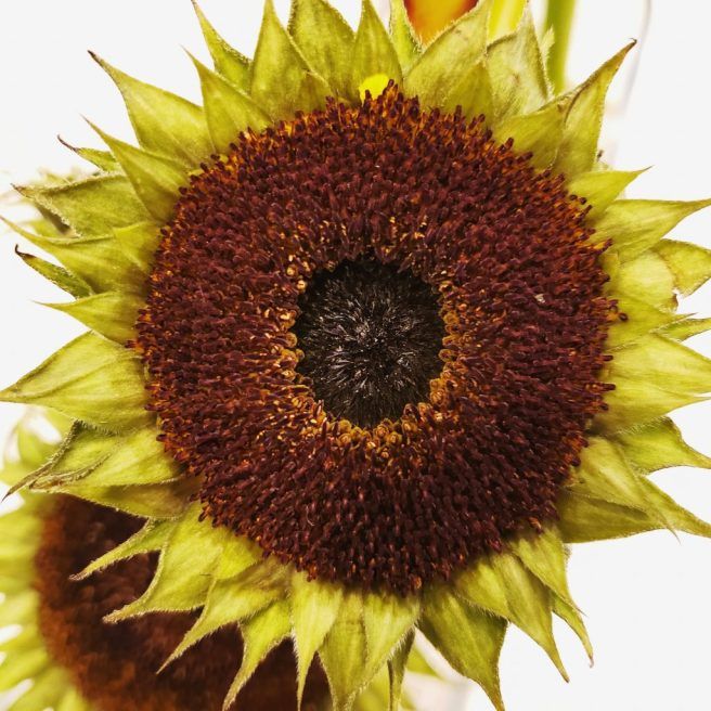 real life mandala sunflower