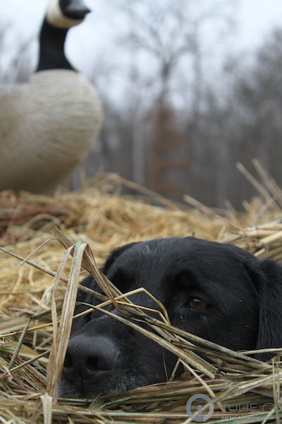 Duck Hunt - Hunting Dog