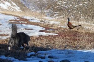 Webley vs Pheasant
