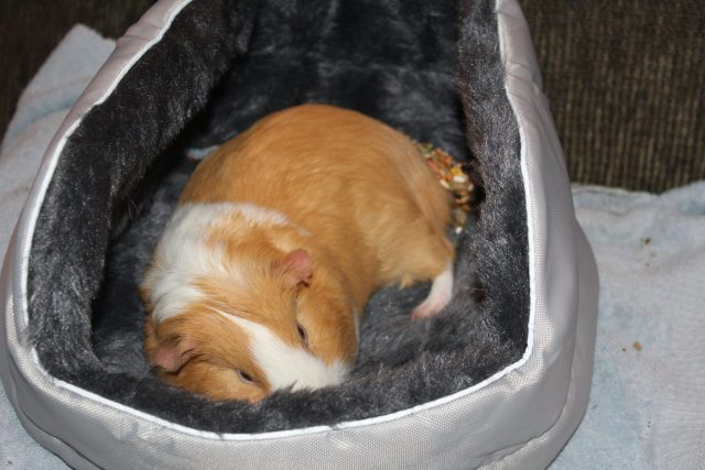 Guinea pig lounging in his bed