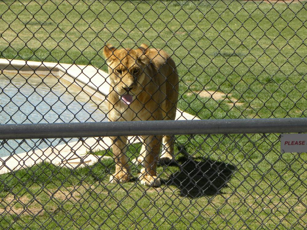 Lion at Tiger Splash Show Out of Africa, Camp Verde, Arizona